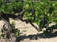 Winzer :: Languedoc-Roussillon